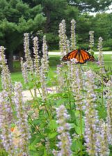 Monarch Butterfly at Butterfly Garden at Forest Glen
